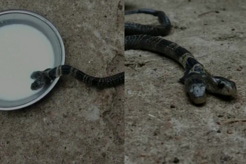 Villagers Refuse to Hand Over Venomous Two-Headed Snake in Bengal Citing 'Mythological Belief'
