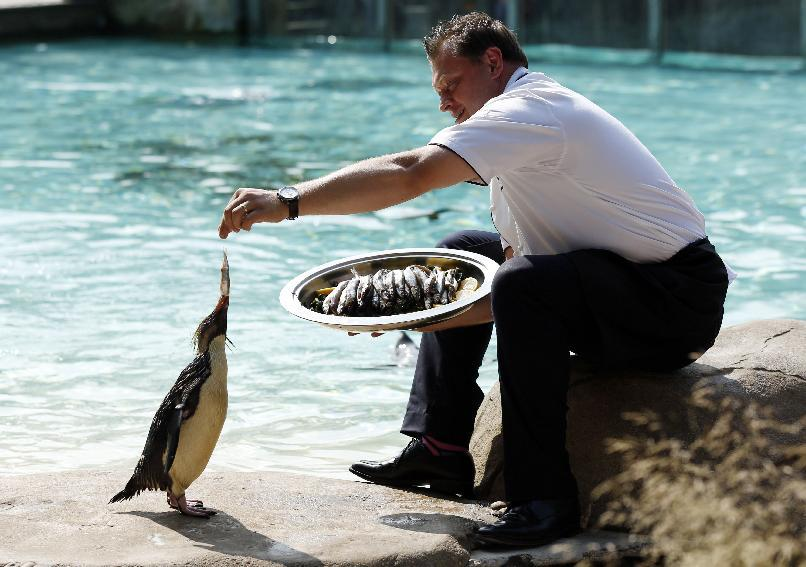 Gary Devereaux, Executive Chef of The Terrace Restaurant, feeds to penguins at ZSL London Zoo in Regents Park, London.