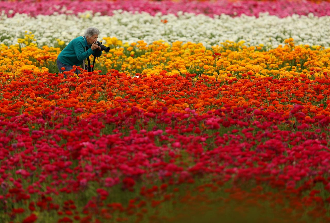 <p>On the first day of Spring a women crouches down to take a photograph of Giant Tecolote Ranunculus flowers at the Flower Fields in Carlsbad, California, U.S., March 20, 2017. REUTERS/Mike Blake </p>