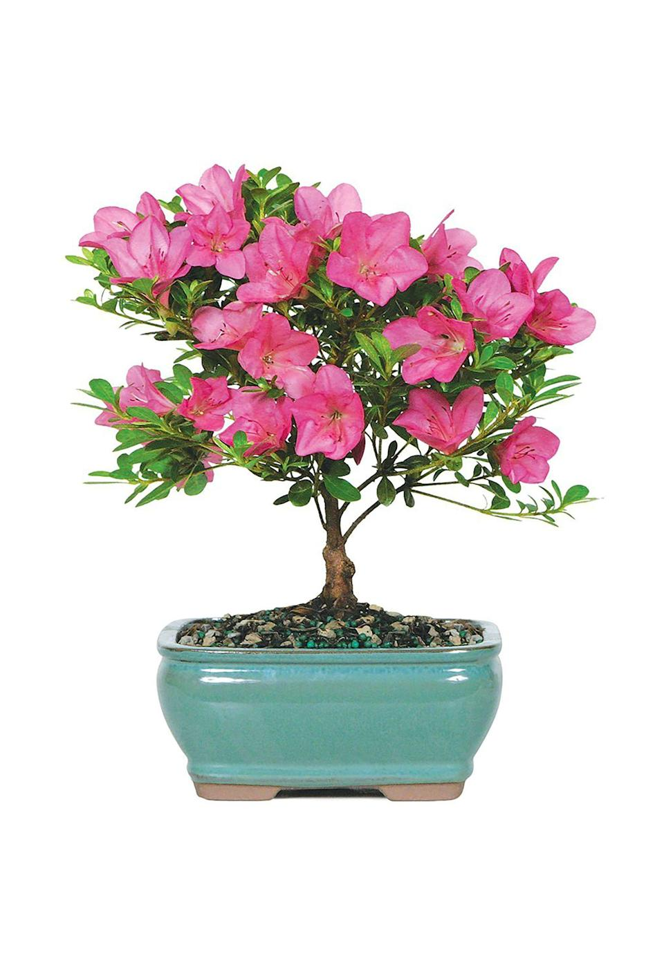 "<p><strong>Brussel's Bonsai</strong></p><p>amazon.com</p><p><strong>$28.00</strong></p><p><a href=""http://www.amazon.com/dp/B0000DG8AR/?tag=syn-yahoo-20&ascsubtag=%5Bartid%7C10050.g.4835%5Bsrc%7Cyahoo-us"" rel=""nofollow noopener"" target=""_blank"" data-ylk=""slk:Shop Now"" class=""link rapid-noclick-resp"">Shop Now</a></p><p>Add a touch of greenery to Mom's work space with this blooming azalea bonsai tree (plus, check out some of the other plant options at <a href=""https://www.amazon.com/b?node=15280263011"" rel=""nofollow noopener"" target=""_blank"" data-ylk=""slk:Amazon's new plant store"" class=""link rapid-noclick-resp"">Amazon's new plant store</a>!).</p>"