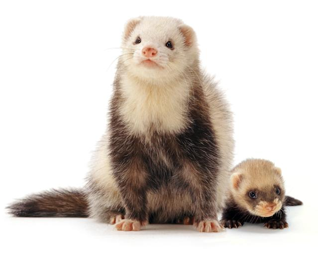 <p>A ferret mother and baby. (Warren Photographic/Mercury Press) </p>