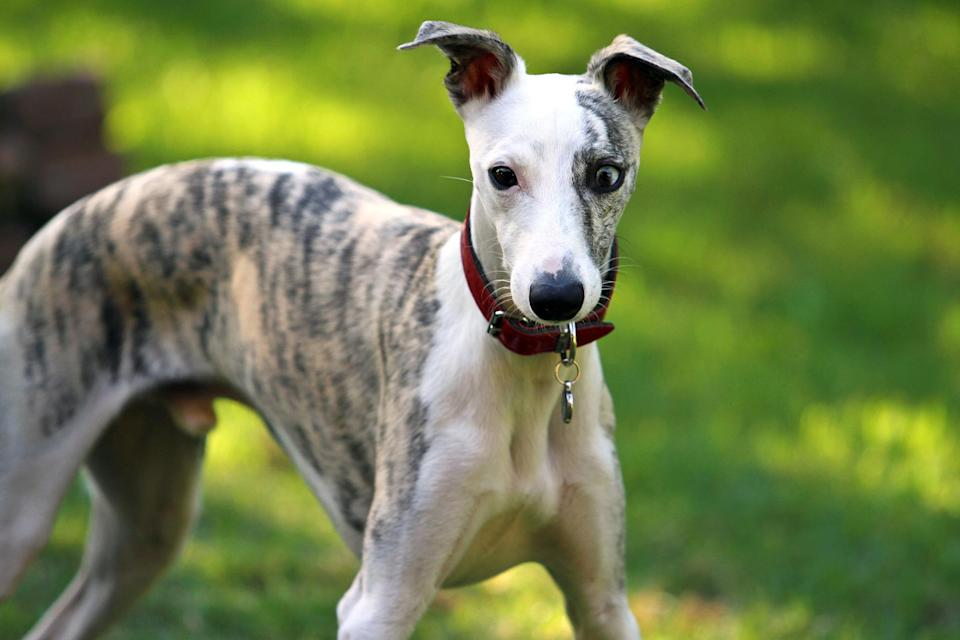 "<p>The <a href=""https://www.akc.org/dog-breeds/whippet/"" rel=""nofollow noopener"" target=""_blank"" data-ylk=""slk:Whippet"" class=""link rapid-noclick-resp"">Whippet</a> has speed on its side. These dogs can run as fast as 35 miles per hour, but otherwise tend to be homebodies with their people. Give them enough exercise then relax on the couch with them for a quiet evening at home.</p>"