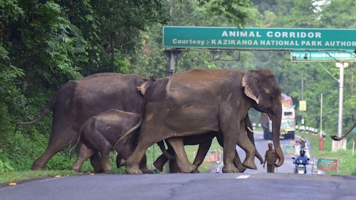 A herd of wild elephant cross a National Highway at the flood affected Kaziranga National Park in India's northeast state of Assam