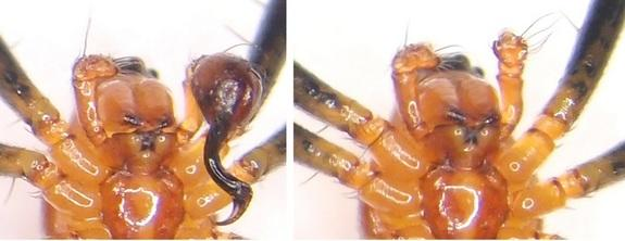 Ventral view of a half-eunuch (i.e., a male with one palp; left) and a full eunuch (i.e., a male without palps; right) <i>Nephilengys malabarensis</i>.