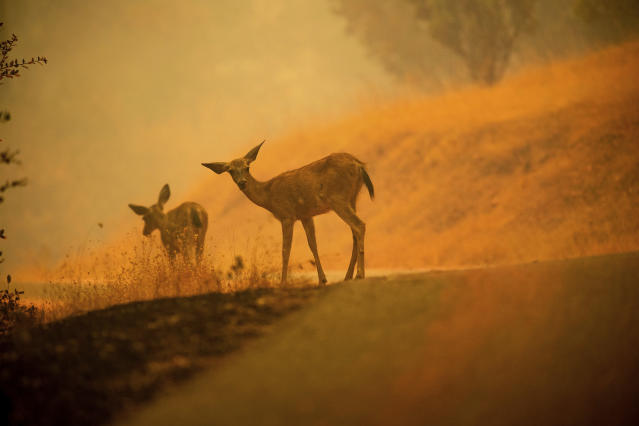 <p>Deer graze along a road covered in fire retardant as the Carr Fire burns near Redding, Calif., on Saturday, July 28, 2018. (Photo: Noah Berger/AP) </p>