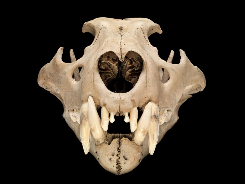 Barbary lion skull – a north African Barbary lion thought to have lived in the Tower of London around 1280–1385. This lion would have been the jewel of the King's menagerie and, after the ancient native lions, is the oldest lion to be found in the UK. (Natural History Museum)