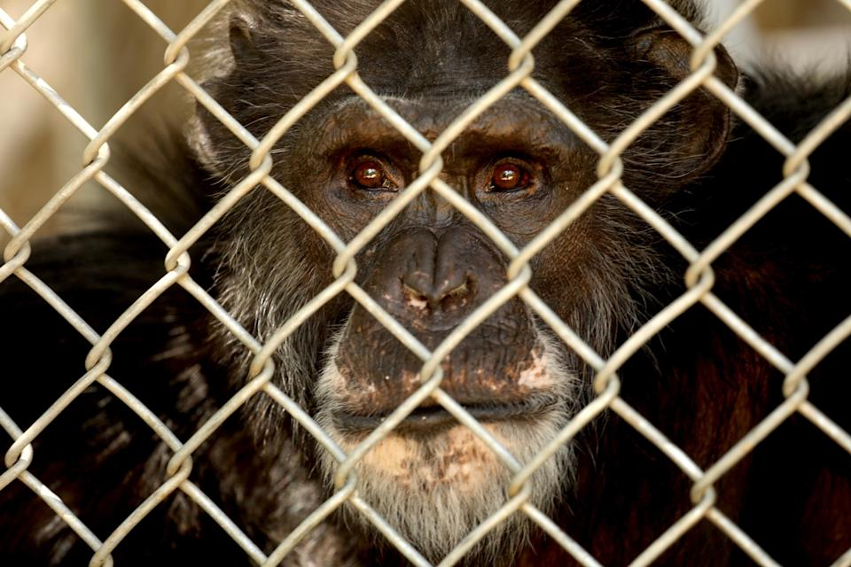 One of the 32 chimpanzees that still resides at the shuttered Wildlife Waystation