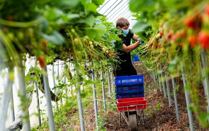 Radu Geani from Romania picking strawberries in ploy-tunnels at Middleton Fruit Farm, Fettercairn - Stuart Nicol/Stuart Nicol Photography