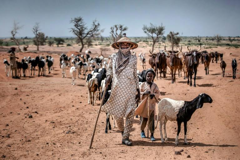 Dairy farmers in arid portions of West Africa are nomadic, making developing business to fully meet demand difficult (AFP Photo/Luis TATO)