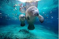 "<p><strong>State Marine Mammal: Manatee</strong></p><p>These adorable water dwellers, sometimes known as sea cows, were designated as the <a href=""https://dos.myflorida.com/florida-facts/florida-state-symbols/"" rel=""nofollow noopener"" target=""_blank"" data-ylk=""slk:state's marine mammal"" class=""link rapid-noclick-resp"">state's marine mammal</a> back in 1975. Though the state also has an official saltwater mammal, the dolphin and both saltwater fish (sailfish) and Freshwater fish (the largemouth bass). <br></p>"