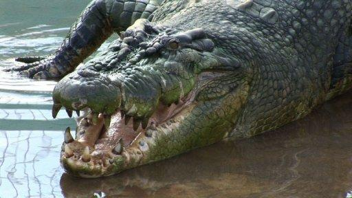 A 21-foot-long saltwater crocodile -- believed to be the biggest ever caught -- was captured in the southern Philippines in August after it reportedly killed two people. But hunters admit they caught the wrong giant croc and the search for an even bigger reptile is under way. DURATION: 00:02:24