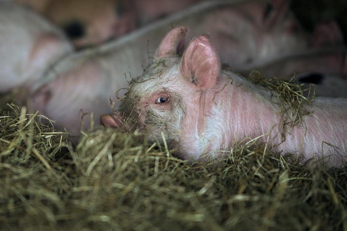 Piglets rest in their sty at Lower Drayton Farm on April 15, 2020 in Penkridge, Staffordshire. Agricultural operations in the UK have been able to continue work amid the quarantine restrictions imposed to control the spread of COVID-19. (Photo by Christopher Furlong/Getty Images)