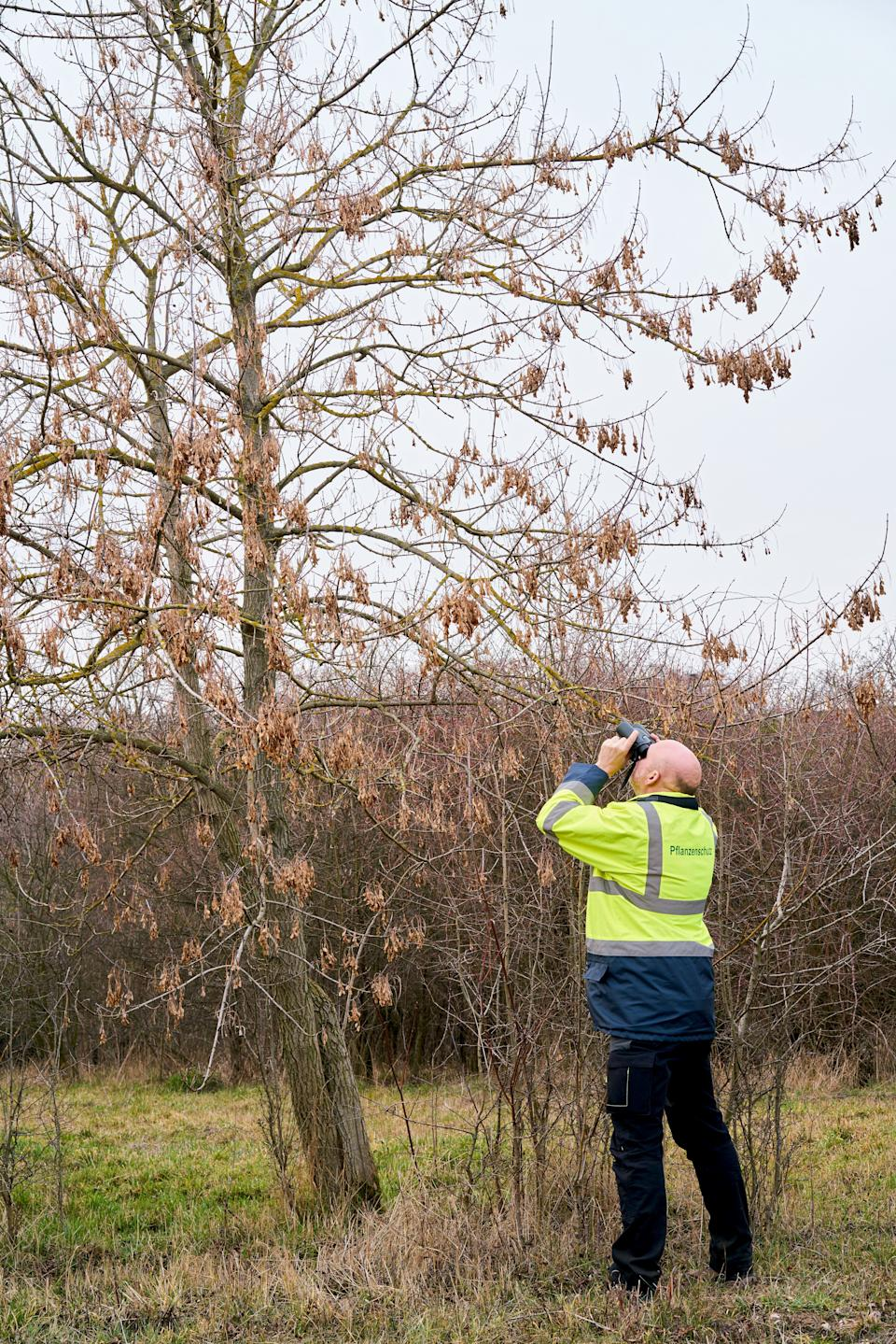 Expert during the examination of trees for a possible pest infestation by the Asian longhorned beetle
