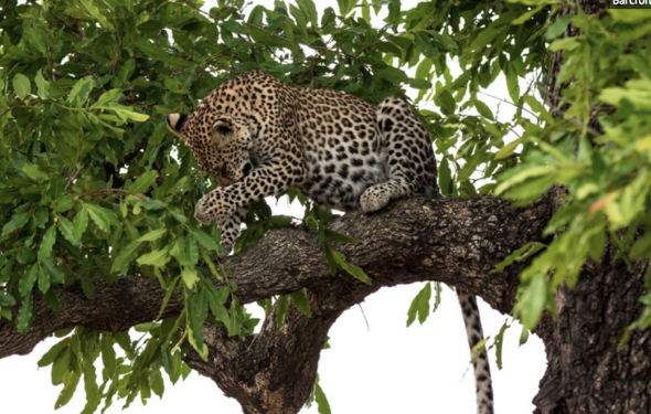 Leopard playing in tree told off by mum (pictures)