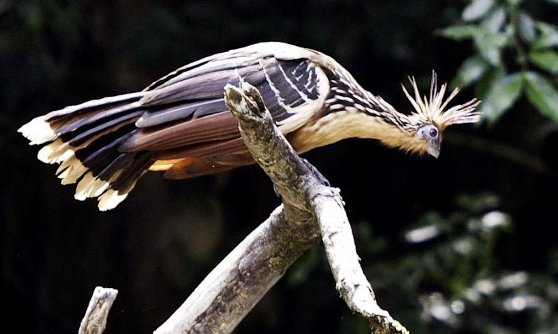 A Hoatzin (Opisthocomus hoazin) perched on a branch.