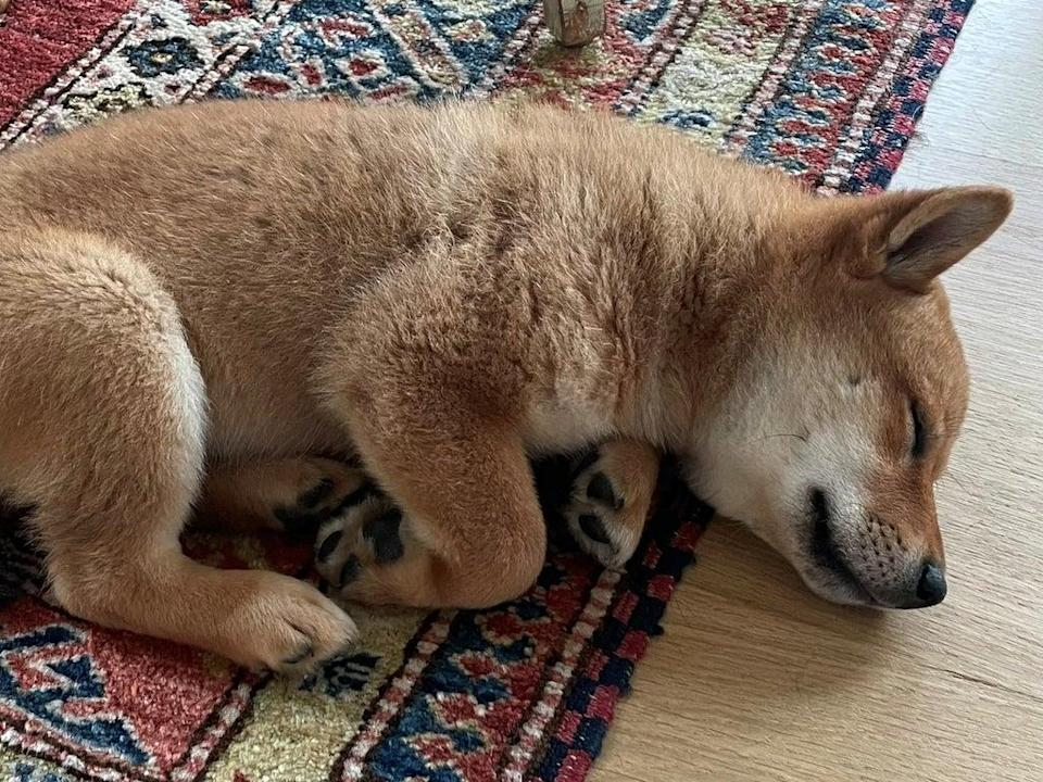 Elon Musk tweeted a picture of his new dog with the caption 'Floki has arrived' on 12 September, 2021 (Elon Musk/ Twitter)