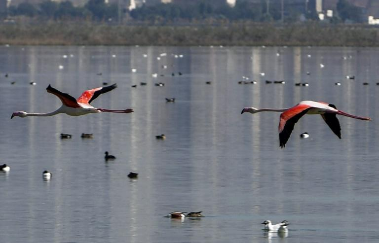 A pair of flamingos flies over the Sijoumi mudflat on the southern outskirts of Tunisia's capital Tunis