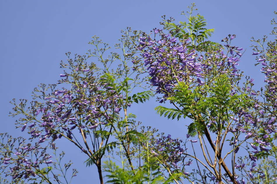 Jacaranda (Jacaranda mimosaefolia) has its origins from Brazil and blooms during February and March. It has light, feathery leaves and thick clusters of purple - blue tubular flowers. It makes for a very pretty ornamental tree and is quite common around the city.
