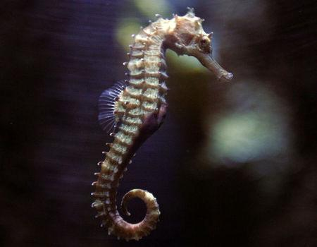 A seahorse swims in a tank at the Underwater World Aquarium in Pattaya, nearly 145 km (90 miles) east of Bangkok