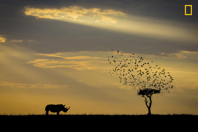 "<p>""Took an early ride out from the camp in Masai Mara national park, searching for the great migration, where I saw a rhino from far away standing beside a tree. The back lit from the early sun was too strong, so I took a silhouette instead."" (© Khai Chuin Sim/National Geographic Travel Photographer of the Year Contest) </p>"
