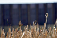 Birds sit in a marsh area as the newly erected border wall cuts through the San Bernardino National Wildlife Refuge, Tuesday, Dec. 8, 2020, in Douglas, Ariz. Construction of the border wall, mostly in government owned wildlife refuges and Indigenous territory, has led to environmental damage and the scarring of unique desert and mountain landscapes that conservationists fear could be irreversible. (AP Photo/Matt York)