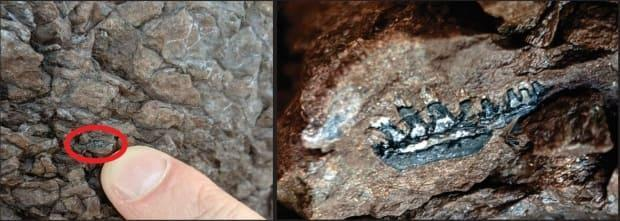 Olivia King found this vertebrate jaw fossil near the Bay of Fundy, east of Saint John.