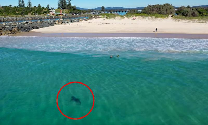 A great white sharks swims just metres from a family at Tuncurry Beach.