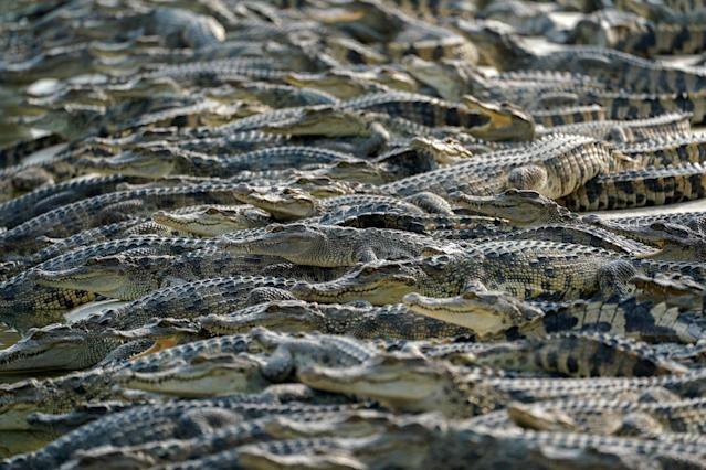 <p>Crocodiles are seen at Sri Ayuthaya Crocodile Farm in Ayutthaya province, Thailand, May 23, 2017. (Photo: Athit Perawongmetha/Reuters) </p>