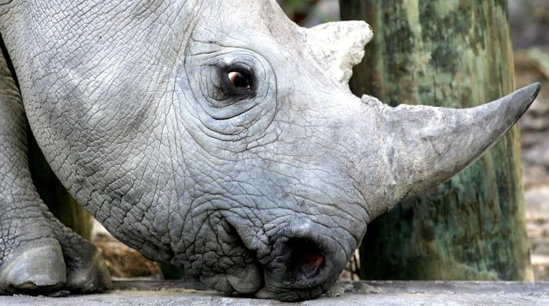 FILE PHOTO: A 33 month old black rhino is seen at a game reserve near Cape Town