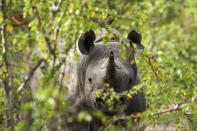 """This 2016 photo provided by African Parks shows a black rhino under protection in Malawi's Liwonde National Park, managed by African Parks in partnership with the Department of National Parks and Wildlife. In many African countries, wildlife tourism provides much of the money to maintain parks where vulnerable species such as elephants, lions, rhinos and giraffes live. But after the new coronavirus struck, """"the entire international tourism sector basically closed down overnight in March,"""" said Peter Fearnhead, the CEO of nonprofit African Parks, which manages 17 national parks and protected areas in 11 countries. (Frank Weitzer/African Parks via AP)"""