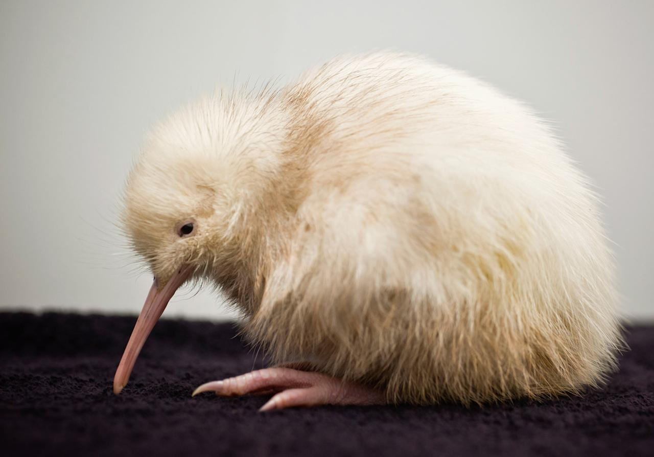 """WELLINGTON, NEW ZEALAND - MAY 22:  In this handout photo provided by the Pukaha Mt Bruce National Wildlife Centre, a rare white kiwi chick is seen only days after being hatched on May 22, 2011 in Wellington, New Zealand. The all-white kiwi, named """"Manukura"""" is suspected to be the first white chick born in captivity. The chick is the thirteenth of fourteen baby kiwis hatched at the wildlife centre this season. (Photo by Mike Heydon/Jet Productions NZ Limited via Getty Images)"""