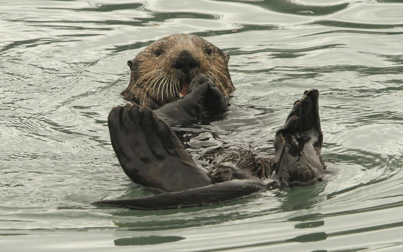 Alaska fishermen: Sea otter comeback is eating into profits
