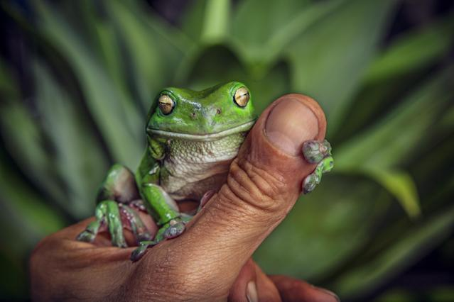 A green tree frog sitting on a man´s thumb