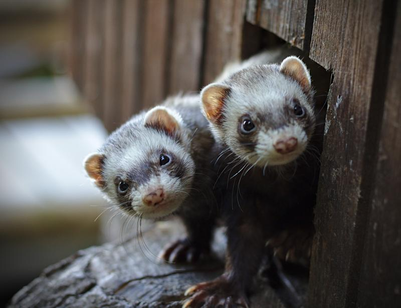 Two ferrets looking out of their wooden house
