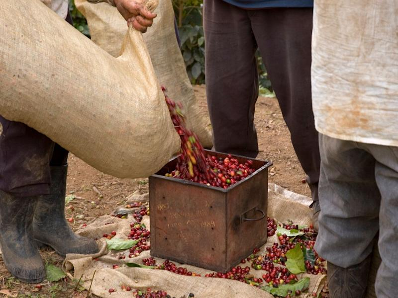 Coffee plantations are poured out of a bag into a tin on a farm.