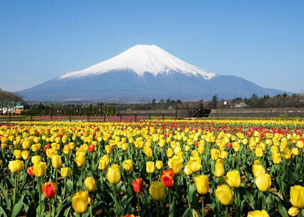 Mount Fuji towers majestically over the tulip field. It's an open, vast scenery that invites to take a deep breath. *The tulips bloom from late April to early May.