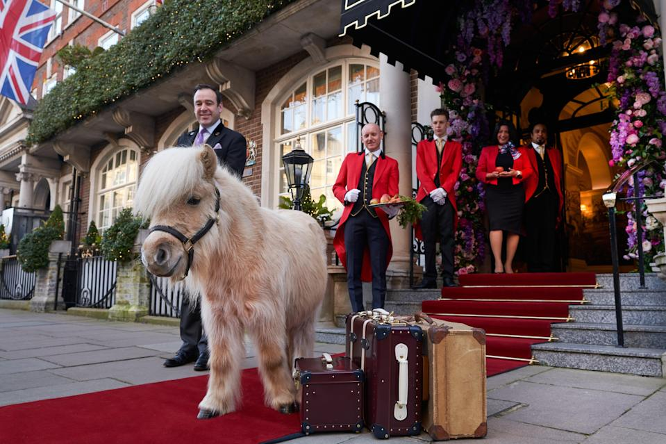 <p>Rick who? The celebrity chef is set to be outshone by Teddy the Shetland</p> (Adam Lynk)