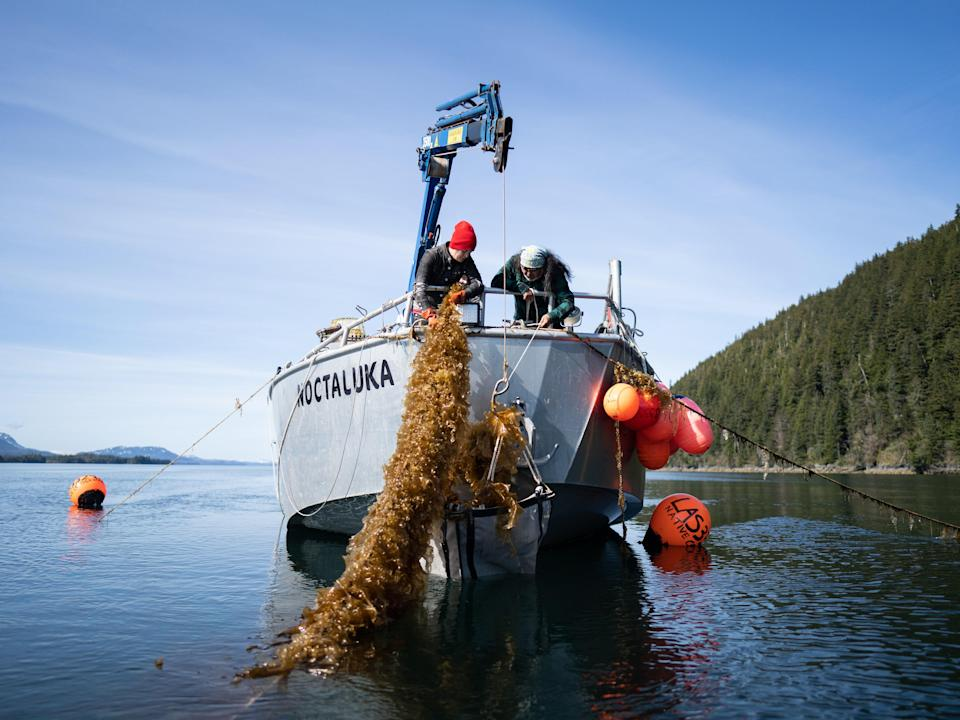 Rachel Hoover, thefoodsecurity and hospitality manager of Native Conservancy, harvests sugar kelp in Simpson Bay alongside Dune Lankard and the crew on the Noctaluka.