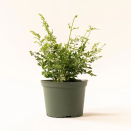 """<p>soilandclay.com</p><p><a href=""""https://soilandclay.com/collections/easy-indoor-plants/products/silver-lace-fern-1"""" rel=""""nofollow noopener"""" target=""""_blank"""" data-ylk=""""slk:Shop Now"""" class=""""link rapid-noclick-resp"""">Shop Now</a></p><p>If you're looking for a nursery experience—without leaving your home—head over to Soil & Clay. The e-tailer hand-selects healthy greens from their garden and sends them directly to your doorstep. (With an array of <a href=""""https://soilandclay.com/collections/pet-friendly-plants"""" rel=""""nofollow noopener"""" target=""""_blank"""" data-ylk=""""slk:pet-friendly plants"""" class=""""link rapid-noclick-resp"""">pet-friendly plants</a>, <a href=""""https://soilandclay.com/collections/easy-indoor-plants"""" rel=""""nofollow noopener"""" target=""""_blank"""" data-ylk=""""slk:easy-to-grow greens"""" class=""""link rapid-noclick-resp"""">easy-to-grow greens</a>, and <a href=""""https://soilandclay.com/collections/succulents"""" rel=""""nofollow noopener"""" target=""""_blank"""" data-ylk=""""slk:succulents"""" class=""""link rapid-noclick-resp"""">succulents</a>, there's something here for everyone.)</p><p>Soil & Clay ensures all the foliage it sends out is in tip-top condition, but if you need some help, there are plenty of <a href=""""https://soilandclay.com/blogs/plant"""" rel=""""nofollow noopener"""" target=""""_blank"""" data-ylk=""""slk:educational resources"""" class=""""link rapid-noclick-resp"""">educational resources</a> and even an<a href=""""https://soilandclay.com/pages/contact-the-plant-doctor"""" rel=""""nofollow noopener"""" target=""""_blank"""" data-ylk=""""slk:on-call plant doctor."""" class=""""link rapid-noclick-resp""""> on-call plant doctor.</a></p>"""