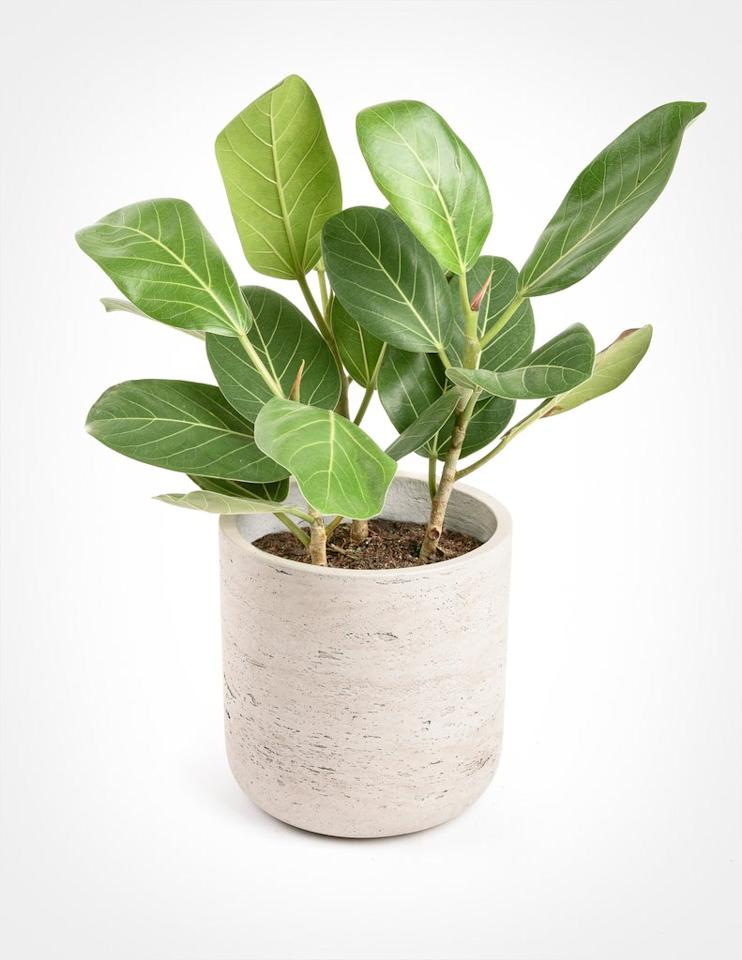 The Top 5 Alternatives to Fiddle Leaf Fig Trees