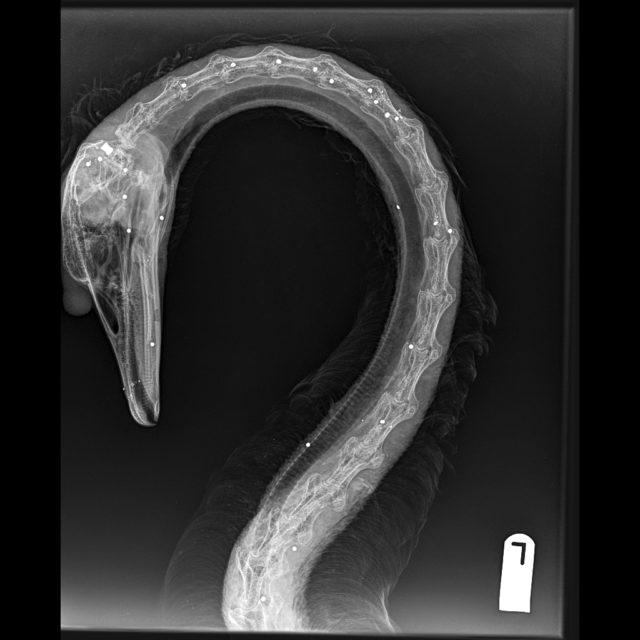 An X-ray image of a swan's body shows it was peppered with pellets (RSPCA/PA)