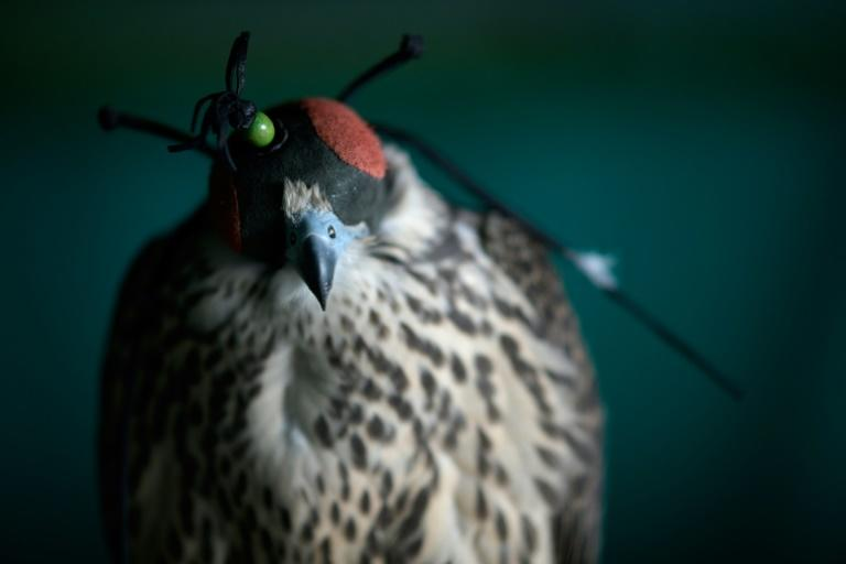 The night before they are flown to the Middle East, the falcons will have their eyes covered and talons secured to calm them before the flight (AFP Photo/Gabriel BOUYS)