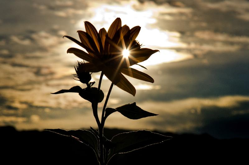 Sun shines behind topinambour flowers on September 18, 2015 in Dresden, eastern Germany (AFP Photo/Arno Burgi)