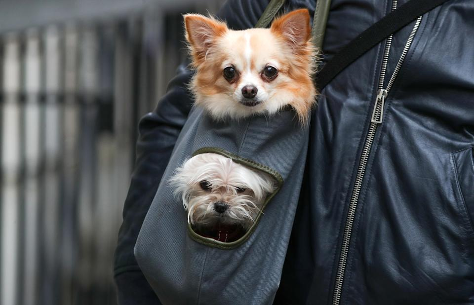 Dog owners have been advised to keep their pets away from pigeons over fears they could contract chlamydia and develop eye and respiratory problems. Stock image. (PA)