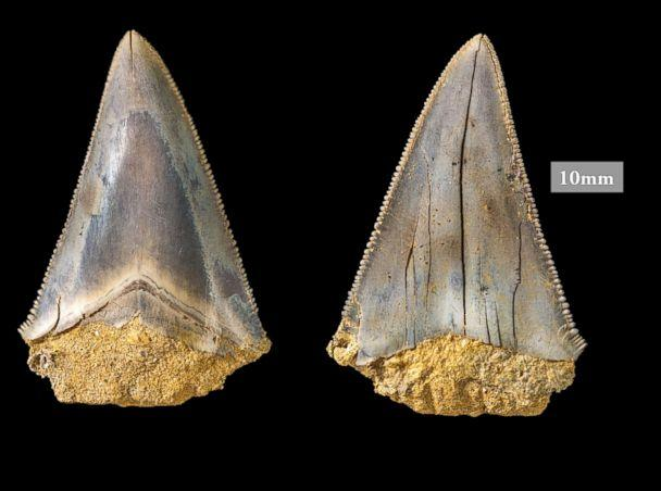 PHOTO: Philip Mullaly found a set of shark teeth in Jan Juc along Victoria's Surf Coast where a team of paleontologists at Museums Victoria excavated the fossils. (Museums Victoria)