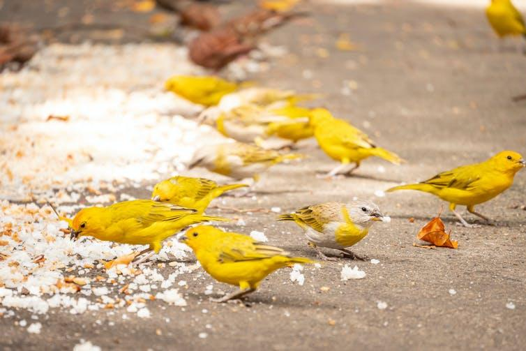 Yellow birds peck at rice strewn on a path.