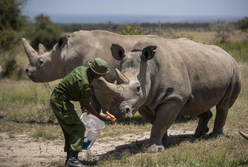 FILE - In this Friday, Aug. 23, 2019 file photo, female northern white rhinos Fatu, 19, right, and Najin, 30, left, the last two northern white rhinos on the planet, are fed some carrots by a ranger in their enclosure at Ol Pejeta Conservancy, Kenya. Groundbreaking work to keep alive the nearly extinct northern white rhino - population, two - by in-vitro fertilization has been hampered by travel restrictions caused by the new coronavirus. (AP Photo/Ben Curtis, File)