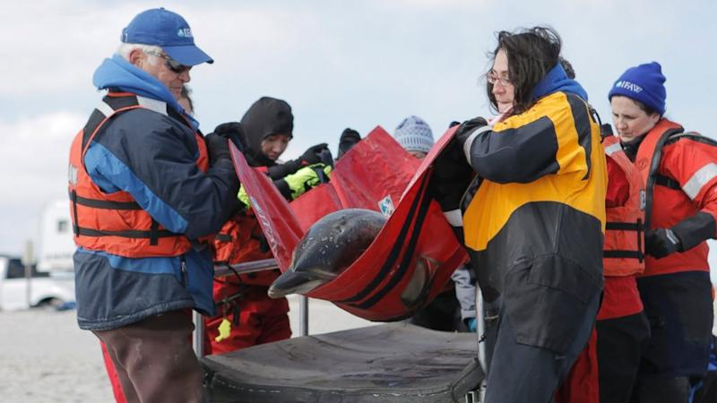 A surge in strandings of dolphins, other marine mammals on Cape Cod