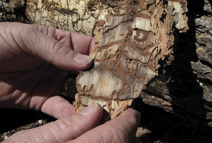 A piece of tree bark showing burrowing marks from a bark beetle infestation, near Cressman, Calif.