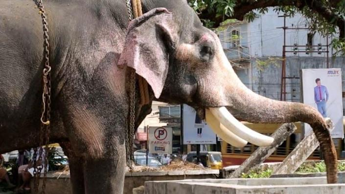 Sangita observed that this elephant was unable to eat or drink due to having a paralysed trunk
